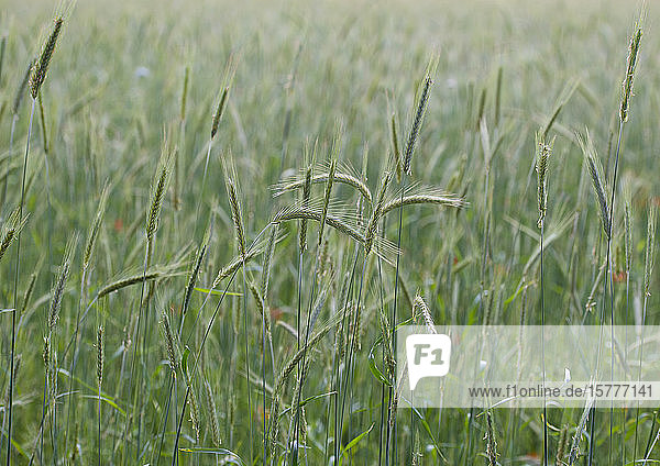 Grünes Getreidefeld  ökologischer Landbau