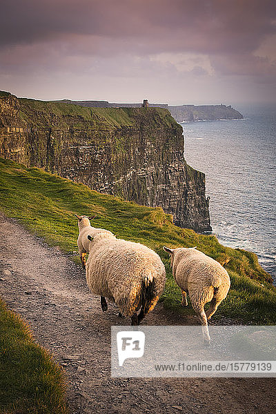 Sheep on rural pathway  Cliffs of Moher  Doolin  Clare  Ireland