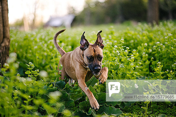 Hund läuft über dickes grünes Laub