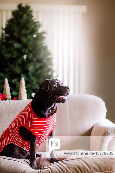 Haushund im T-Shirt auf dem Sofa  Weihnachtsbaum im Hintergrund