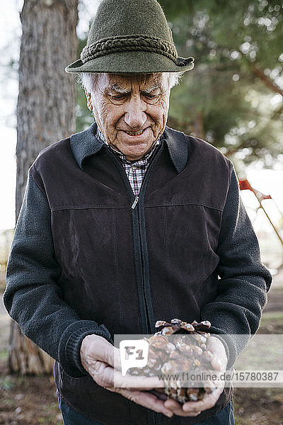 Old man looking at pine cones in his hand