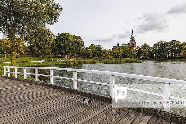 Deutschland  Mecklenburg-Vorpommern  Stralsund  Hund beim Spaziergang über die Holzbrücke mit der Kirche Saint Marys im Hintergrund