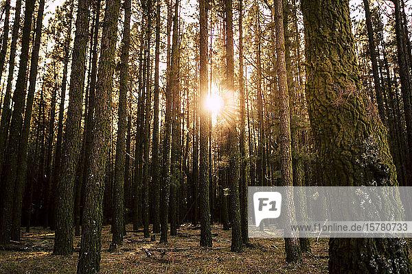 Spanien  Teneriffa  Bäume im Wald bei Sonnenuntergang