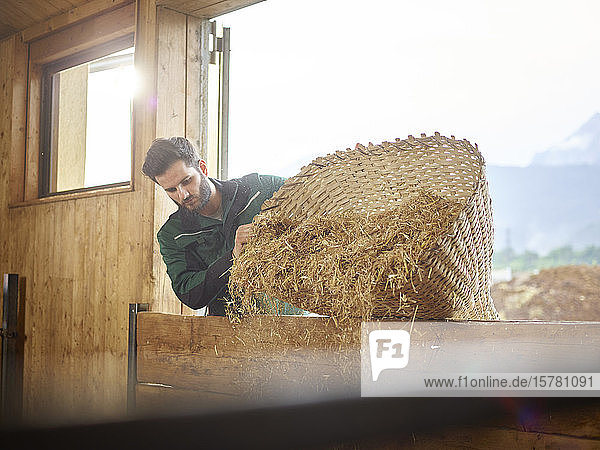 Farmer pouring straw into barn on a farm