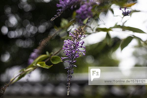 Japan  Kyoto  Nahaufnahme der violetten Blume