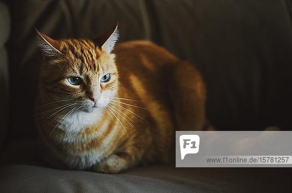 Porträt einer rothaarigen Katze auf der Couch