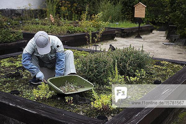 Japan  Kyoto  Gärtner reinigen Pflanzen im Garten