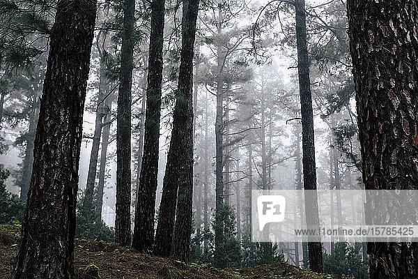 Spanien  Kanarische Inseln  Teneriffa  Stiller Nebelwald