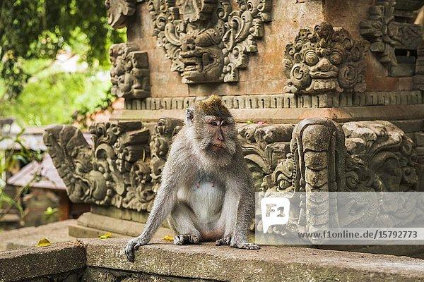 Balinese long-tailed Monkey (Macaca fascicularis)  Sacred Monkey Forest  Ubud  Bali  Indonesia.