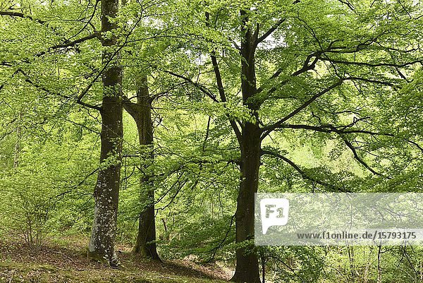 Hetres  foret de Rambouillet  departement des Yvelines  region Ile de France  France  Europe/ beech trees  forest of Rambouillet  Yvelines department  Ile de France region  France  Europe.