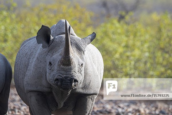 Close-up of a female White rhinoceros or square-lipped rhinoceros (Ceratotherium simum) (endangered species) in the Ongava Game Reserve  south of the Etosha National Park in northwestern Namibia.