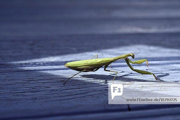 Praying mantis (Mantis religiosa) on a blue background  France  Europe.
