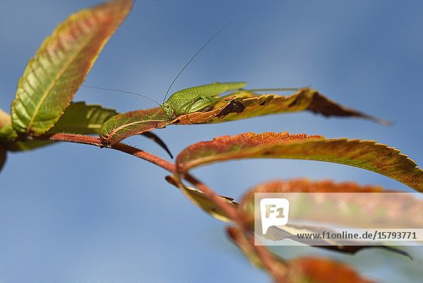 Mediterranean Katydid (Phaneroptera nana) on leaves of staghorn sumac (Rhus typhina)  France  Europe.