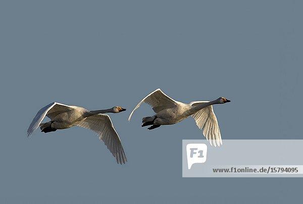 Chine  Province de Henan  Sanmenxia  Cygne chanteur ou Cygne sauvage (Cygnus cygnus)  en vol / China  Henan ptovince  Sanmenxia  Whooper swan (Cygnus cygnus)  in flight.