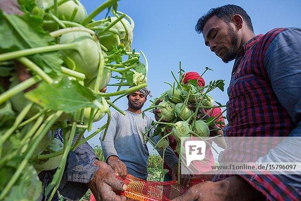 "Bangladesh â. "" January 24  2020: Labors are uploading Kohlrabi cabbage in plastic mesh bags for export in local market at Savar  Dhaka  Bangladesh."