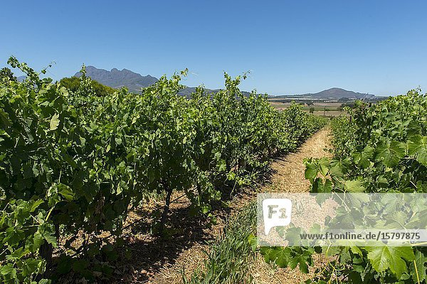 The vineyards at the Fairview winery (Founded 1693) near Paarl in the Western Cape  Cape Town  South Africa.