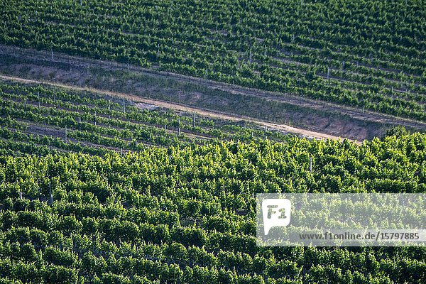 View of the vineyards in the Constantia wine region near Cape Town  South Africa.