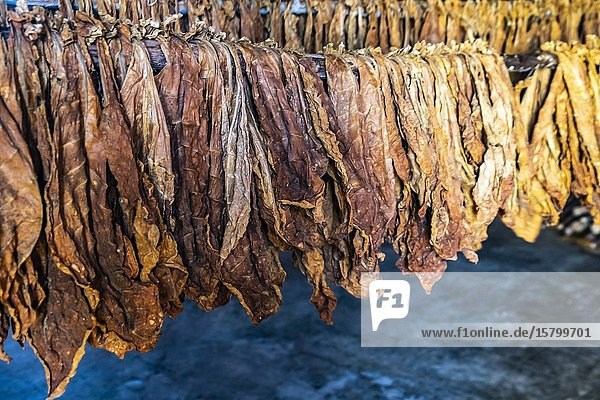 Process of tabacco drying  Republic of Cuba  Caribbean  Central America.
