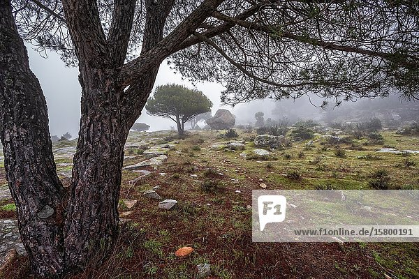 Granite and conifers between the fog in Cadalso de los Vidrios. Madrid. Spain. Europe.