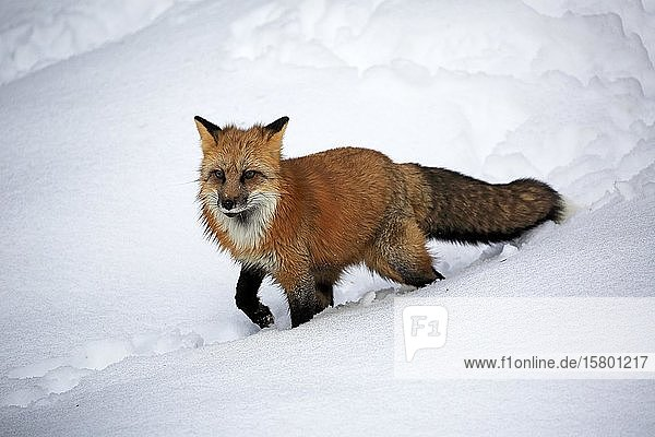 American red fox  (Vulpes fulva)  adult  in winter  in snow  foraging  Montana  North America  USA  North America