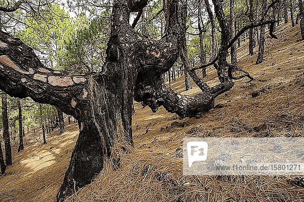 Alte Kanarische Kiefer (Pinus canariensis)  La Palma  Kanaren  Spanien  Europa