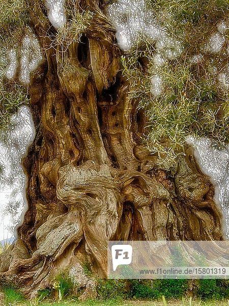 Baumstamm eines uralten Olivenbaumes (Olea europaea)  Sardinien  Italien  Europa