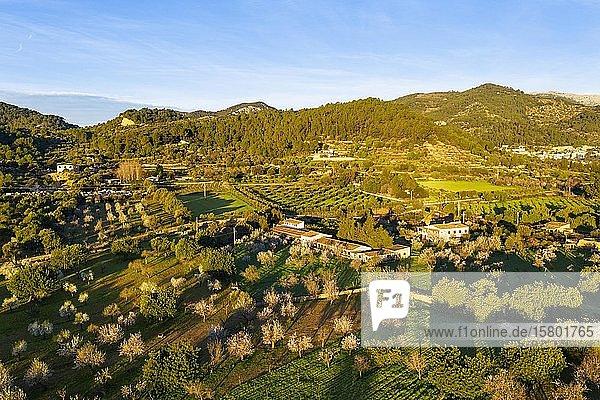 Mandelblüte  blühende Mandelbäume und Finca im Morgenlicht  bei Mancor de la Vall  Luftbild  Mallorca  Balearen  Spanien  Europa