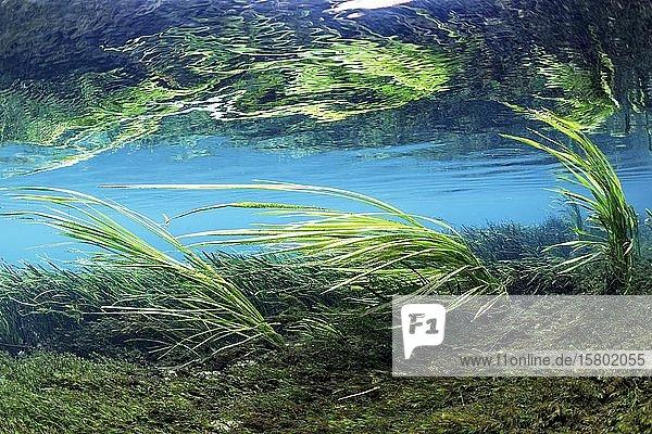 Unterwasserlandschaft,  Schilf im Flußbett wiegt sich in Strömung,  grün,  Rainbow River,  Rainbow Springs State Park,  Dunnelon,  Florida,  USA,  Nordamerika