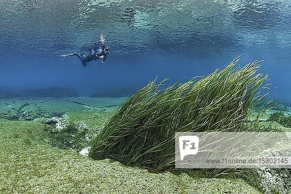 Schnorchler schwimmt im Fluß über Schilf  Rainbow River  Rainbow Springs State Park  Dunnelon  Florida  USA  Nordamerika