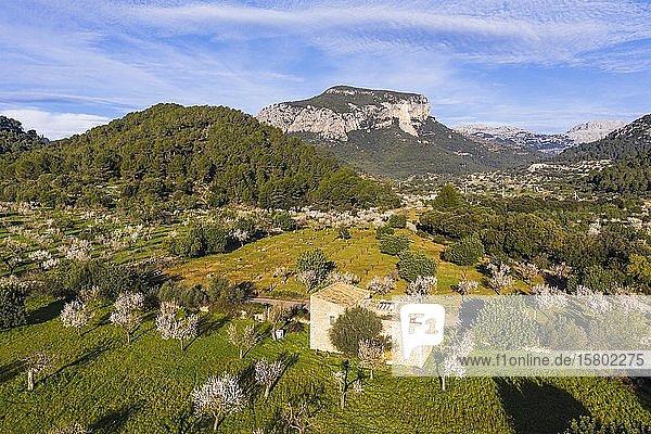 Mandelblüte  blühende Mandelbäume in Torrent de s' Estornell und Puig d'Alcadena  bei Lloseta  Serra de Tramuntana  Luftbild  Mallorca  Balearen  Spanien  Europa