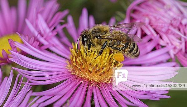 Honigbiene (Apis mellifera) auf Asterblüte (Aster)  Berndorf  Niederösterreich  Österreich  Europa