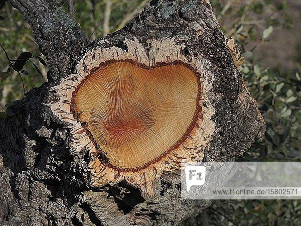 Korkeiche (Quercus suber)  Querschnitt  Sardinien  Italien  Europa