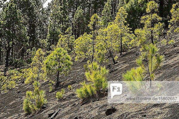 Junge Kanarische Kiefern (Pinus canariensis) auf einem Lavafeld  La Palma  Kanaren  Spanien  Europa