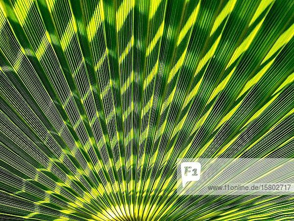 Struktur eines Palmenblattes  Kanaren  Spanien  Europa