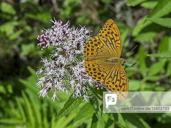 Kaisermantel (Argynnis paphia) auf Blüten des gewöhnlichen Wasserdost (Eupatorium cannabinum)  Gaisstein  Furth  Niederösterreich  Österreich  Europa