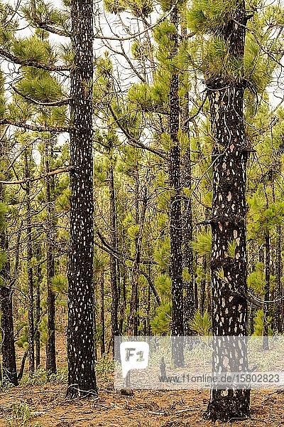 Kanarischen Kiefern (Pinus canariensis) mit jungen Trieben nach einem Waldbrand  Hochformat  La Palma  Kanaren  Spanien  Europa