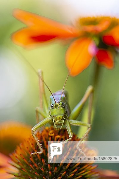Heuschrecke  grünes Heupferd (Tettigonia viridissima) sitzt auf Blüte des Purpur-Sonnenhut (Echinacea purpurea)  Bayern  Deutschland  Europa