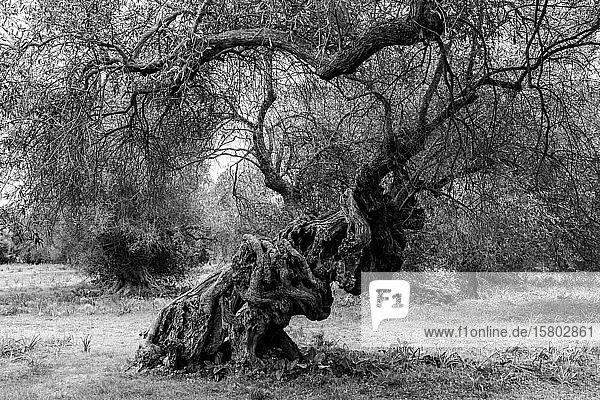 Uralter Olivenbaum (Olea europaea) mit verwundenem Baumstamm  schwarz-weiß  Sardinien  Italien  Europa