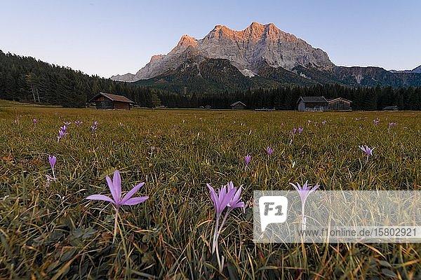 Wiese mit Herbstzeitlosen (Colchicum autumnale)  Sonnenuntergang an der Zugspitze  Wettersteingebirge  Werdenfelser Land  Oberbayern  Bayern  Deutschland  Europa