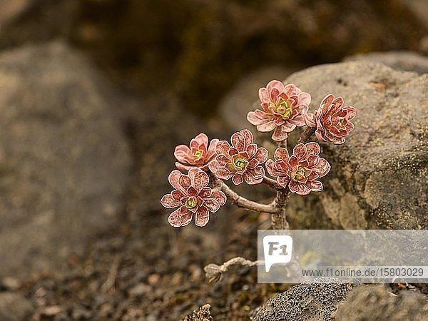 Dickblattgewächs (Aeonium) mit roten Blättern zwischen Steinen in einem Lavafeld  La Palma  Kanaren  Spanien  Europa