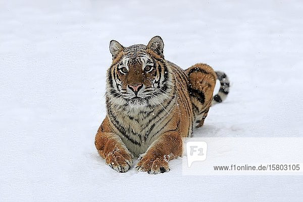 Siberian tiger (Panthera tigris altaica)  adult  captive  in winter  in snow  alert  Montana  North America  USA  North America
