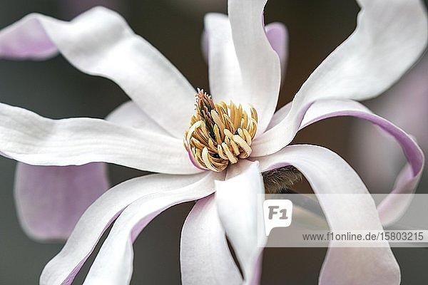 Blüte der Sternmiere (Magnolia stellata)  Baden-Württemberg  Deutschland  Europa