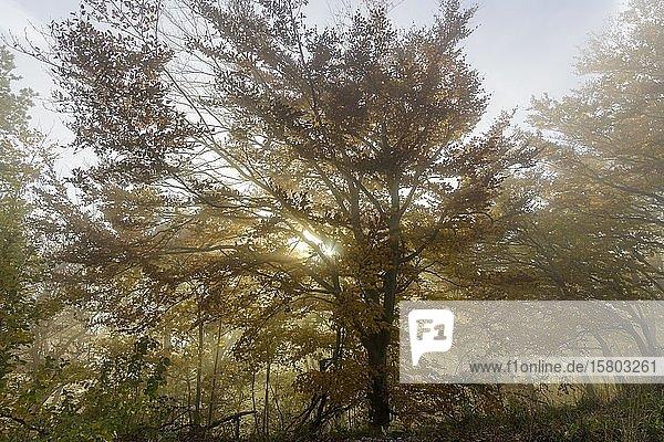 Herbstlicher Buchenwald mit Nebel  Hocheck  Furth an der Triesting  Niederösterreich  Österreich  Europa