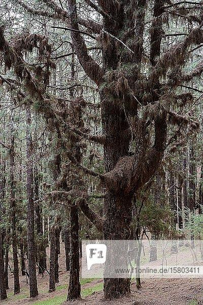 Kanarische Kiefer (Pinus canariensis) dick behangen mit trockenen Nadeln auf den Ästen  Hochformat  La Palma  Kanaren  Spanien  Europa