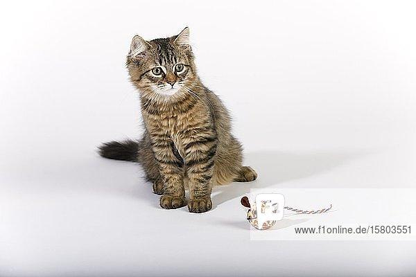 Maine Coon Katze (Felis silvestris catus)  Jungtier mit Spielzeug-Maus  Deutschland  Europa
