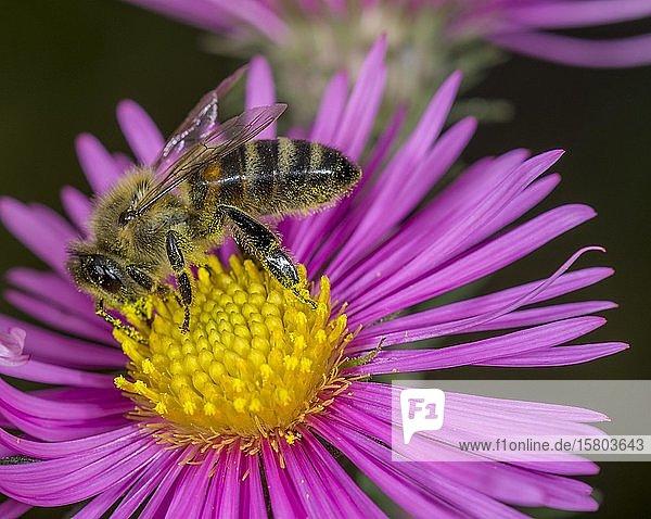 Honigbiene (Apis mellifera) auf Asterblüte (Aster)  Niederösterreich  Österreich  Europa