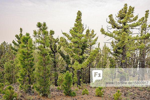 Wald mit teilweise jungen Kanarischen Kiefern (Pinus canariensis)  La Palma  Kanaren  Spanien  Europa
