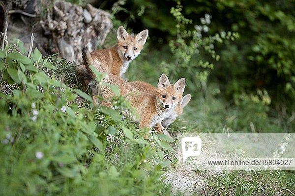 Junge Füchse vor ihrem Bau am Waldrand  Allensbach  Bodensee  Baden-Württemberg  Deutschland  Europa