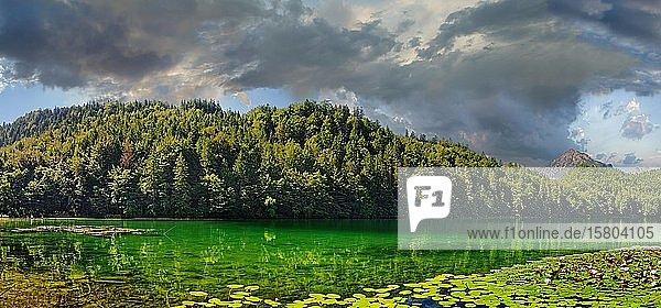 Türkisgrüner Alatsee mit blühenden Seerosenteppich  Füssen  Bayern  Deutschland  Europa