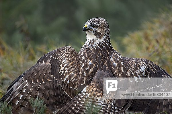 Steppe buzzard (Buteo buteo) sits on the ground with spread wings  he coats  he covers his prey  from behind  shoulder view  Tyrol  Austria  Europe